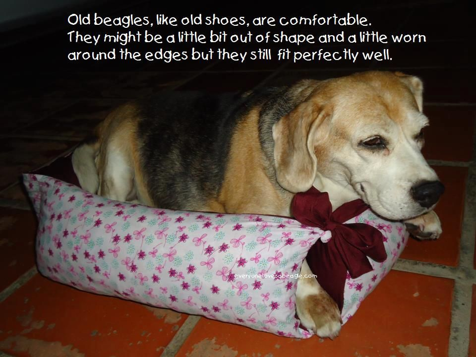 Senior Beagle Beagle Dog Beagle Beagle Buddies