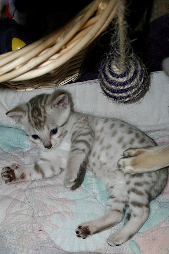 Seal Mink And Seal Lynx Point Spotted Snow Bengal Kittens Bengal Kitten Baby Animals Pictures Bengal Cat