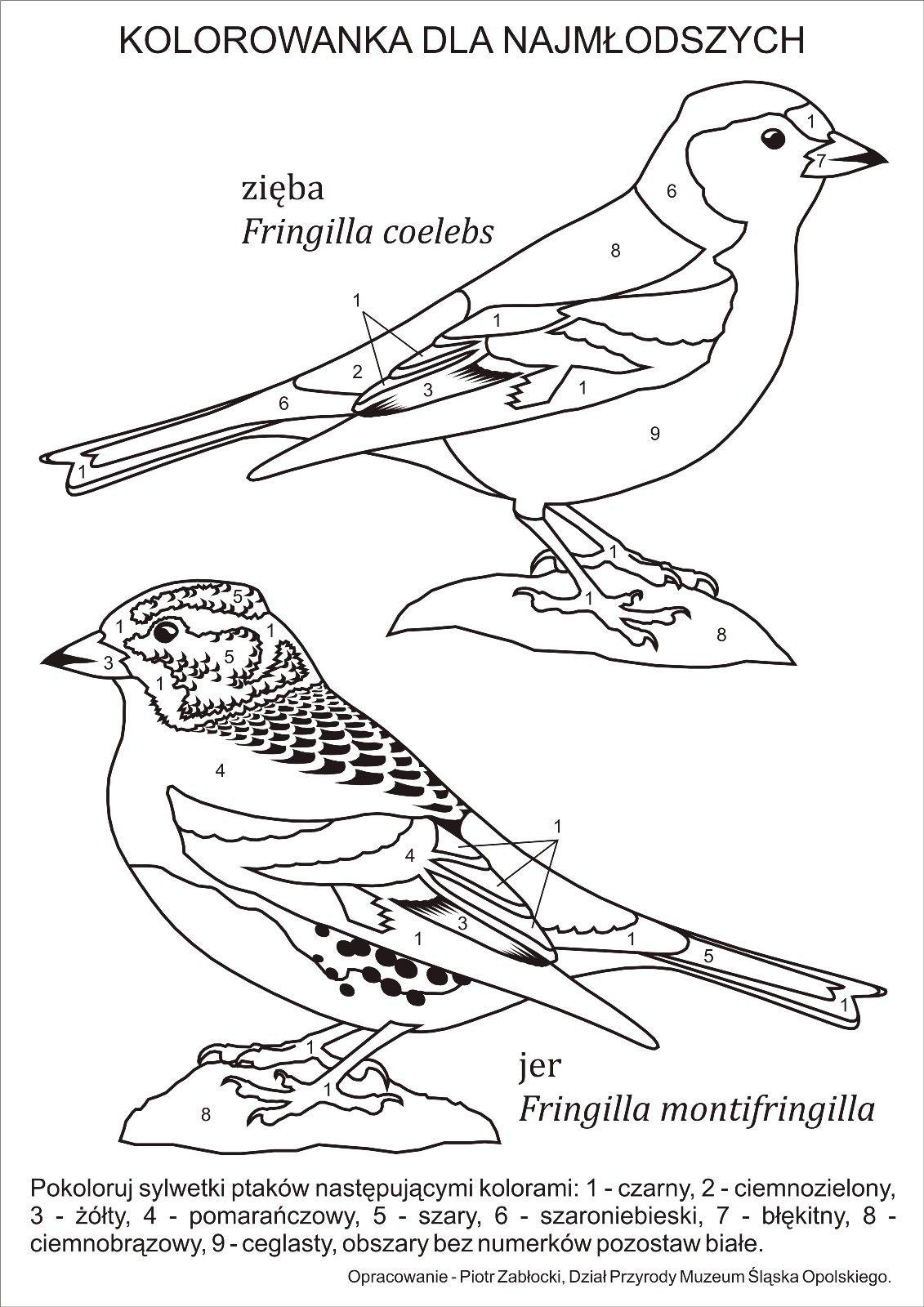 Z Notatnika Przyrodnika Muzealnika Rozpoznawanie Zieby Fringilla Coelebs I Jera Fringilla Montifringilla Dla Najmlodszyc Colouring Pages Bird Coloring Pages