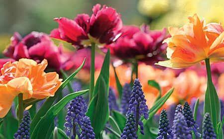 Mdehnerde Ratgeber Pflanzen Abc Zierpflanzen Zwiebelblumen Setzen