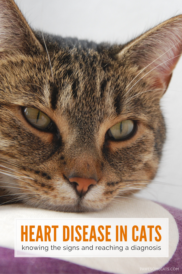 Signs Of Heart Disease And Heart Failure In Cats Pawesome Cats In 2020 Heart Disease Symptoms Signs Of Heart Disease Cat Diseases