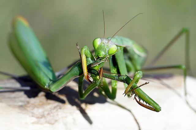 Image result for praying mantis eating mate gif