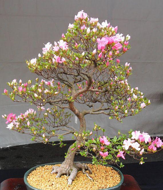 7 japanische blühende Kirschblüten Bonsai Samen, frische exotische seltene Bonsai-Samen