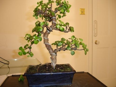 The Jade Plant A Great Low Maintenance Plant For Your Indoor Garden Crassula Ovata Youtube Jade Bonsai Jade Plant Bonsai Bonsai Tree Care