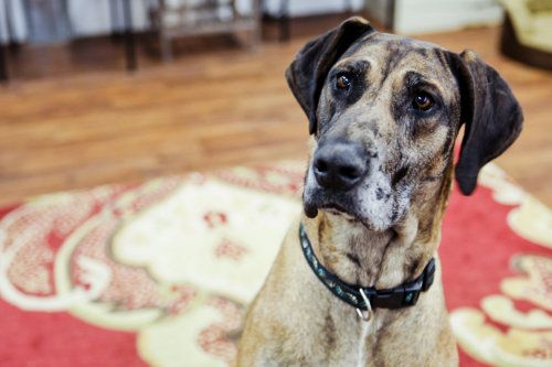 Adopt Giselle On Great Dane Dogs Great Dane Mix Dogs