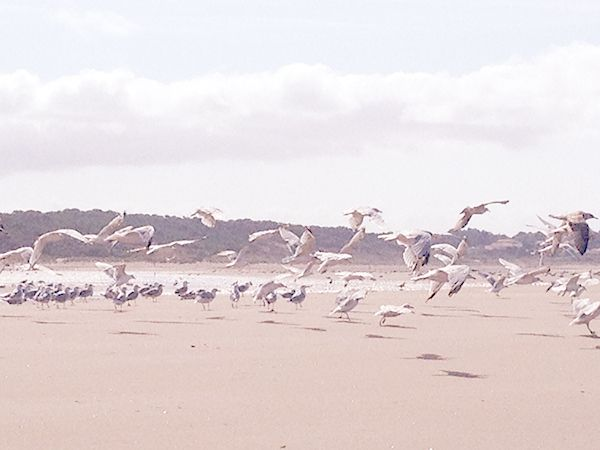 seagulls on the  beach : plage et mouettes