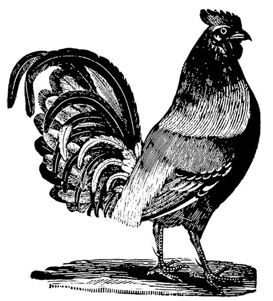 Free Collection Of Vintage Black And White Farm Animal Images Rooster Pig Cow And Sheep For Use In Your Vintage Printables Farm House Colors Vintage Images