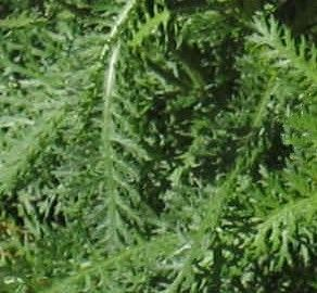 Common Yarrow Fern-Like Leaves | Common Weeds | Weeds in lawn, Weed