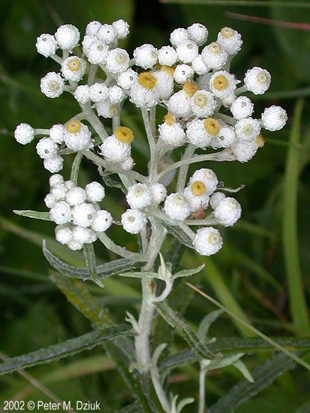 Anaphalis margaritacea pearly everlasting minnesota wildflowers photo of female flowers mightylinksfo Gallery