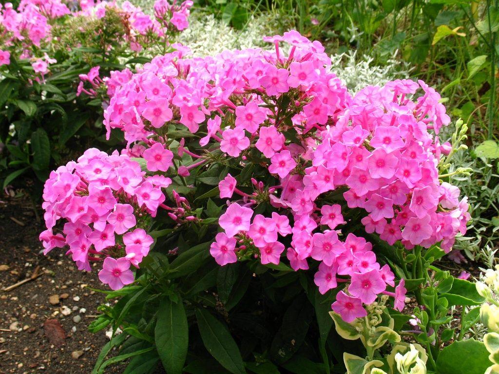 garden phlox (phlox paniculata) | front garden | pinterest