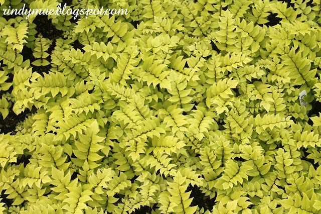 Little Prince of Oregon Nursery Tour - Japanese Holly Fern