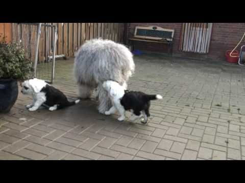 Old English Sheepdogpuppies 6 weeks playing with their