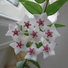 hoya plant - Google Search