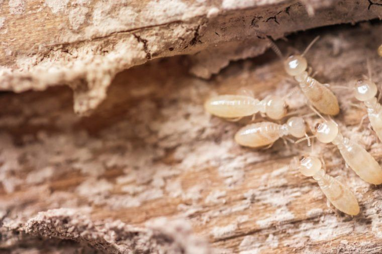 13 Secrets Termites Don T Want You To Know Termite Control Termites White Ant