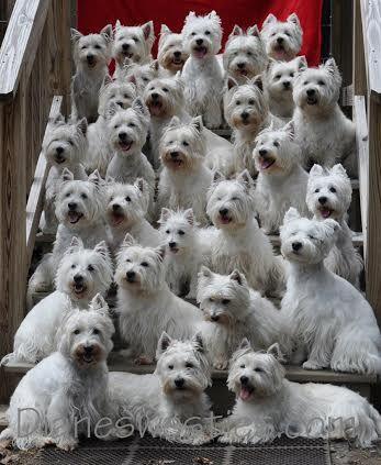 Diane S Westies Group Photo 28 Westies This Is Our Westie Family My Paula S 3 Westies Are In This Pic Westie Puppies Westie Dogs Westies