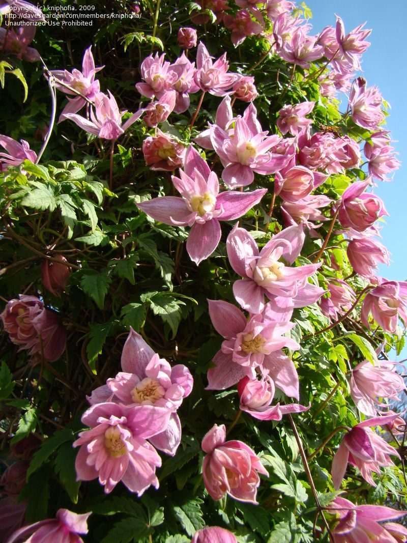 Large petalled clematis markhams pink clematis macropetala large petalled clematis markhams pink clematis macropetala clematis plantsclematis vineflower dhlflorist Images