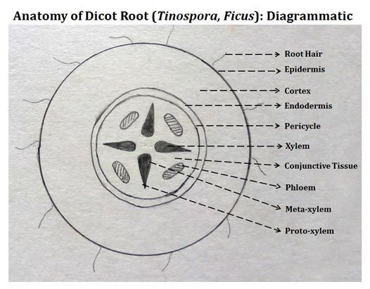 Line Art Quizlet : Record diagram for dicot root plant anatomy pinterest