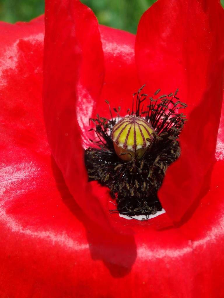 Coquelicot rouge dans les jardins de monet giverny for Jardin francais jewelry