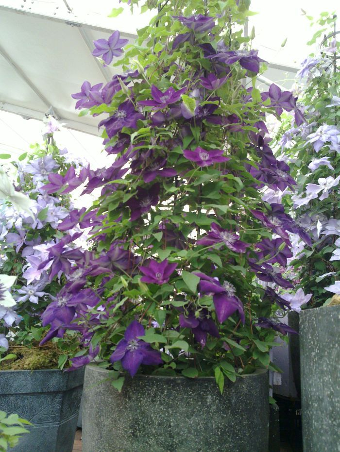 New World Collection Amethyst Beauty Clematis Plants Shade Plants Climbing Plants