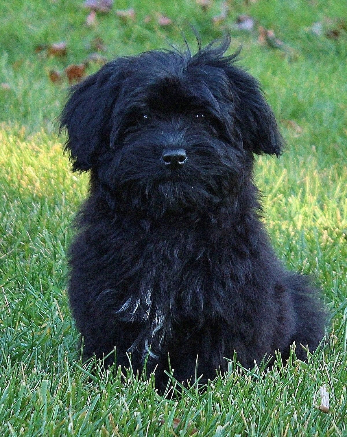 Things We Enjoy About The Intelligent Havanese Puppies