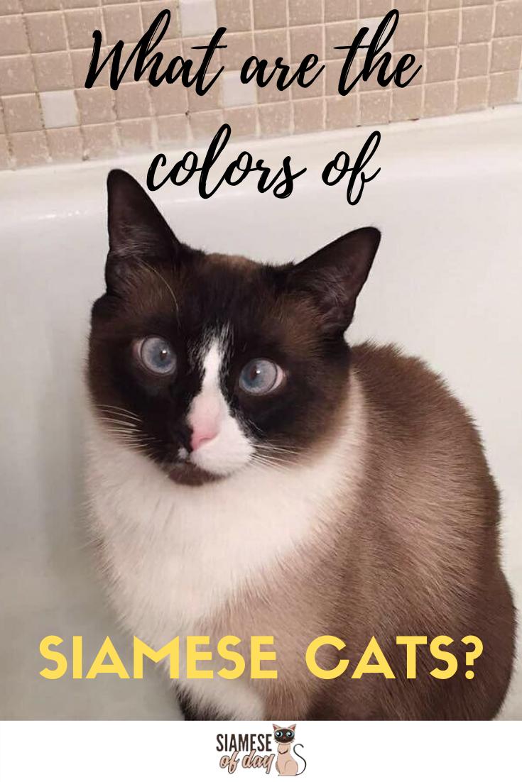 Siamese Cat Colors Chart Siamese cats, Cat colors