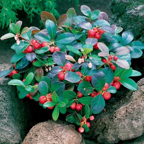 Small Year Round Veg Patch: Gaultheria Procumbens: This Small Creeping Evergreen