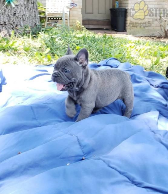 Kessy French Bulldog Puppy For Sale In Ronks Pa Lancaster