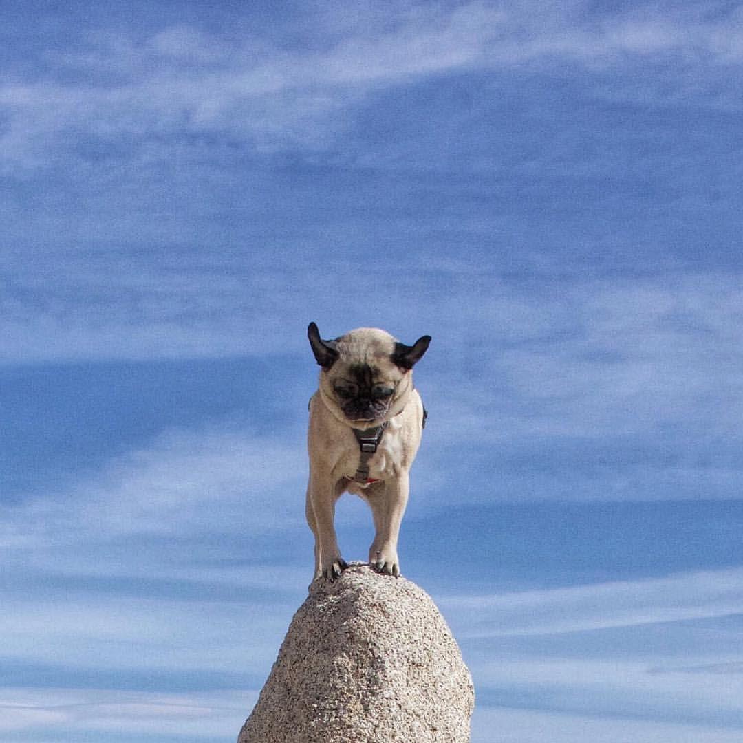 Mack The Adventure Pug Human On Instagram Yeeee Hawwww I