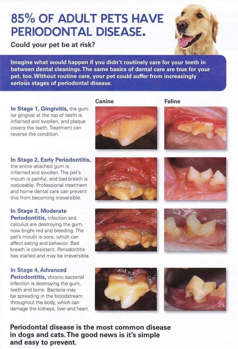 Periodontal Disease In Dogs Watch Out For Teeth Infections