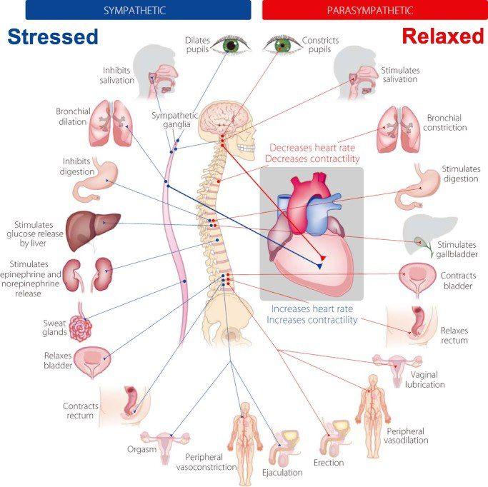 Sympathetic vs Parasympathetic - Physiological functions ...