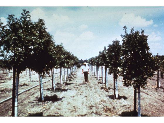 Image result for disneyland orange grove