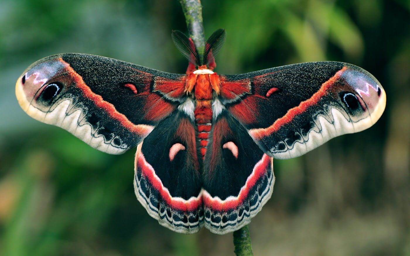 Cecropia Moth Schmetterling Schone Schmetterlinge Nachtfalter