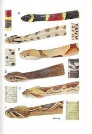 Image Result For Australian Snakes Identification Chart
