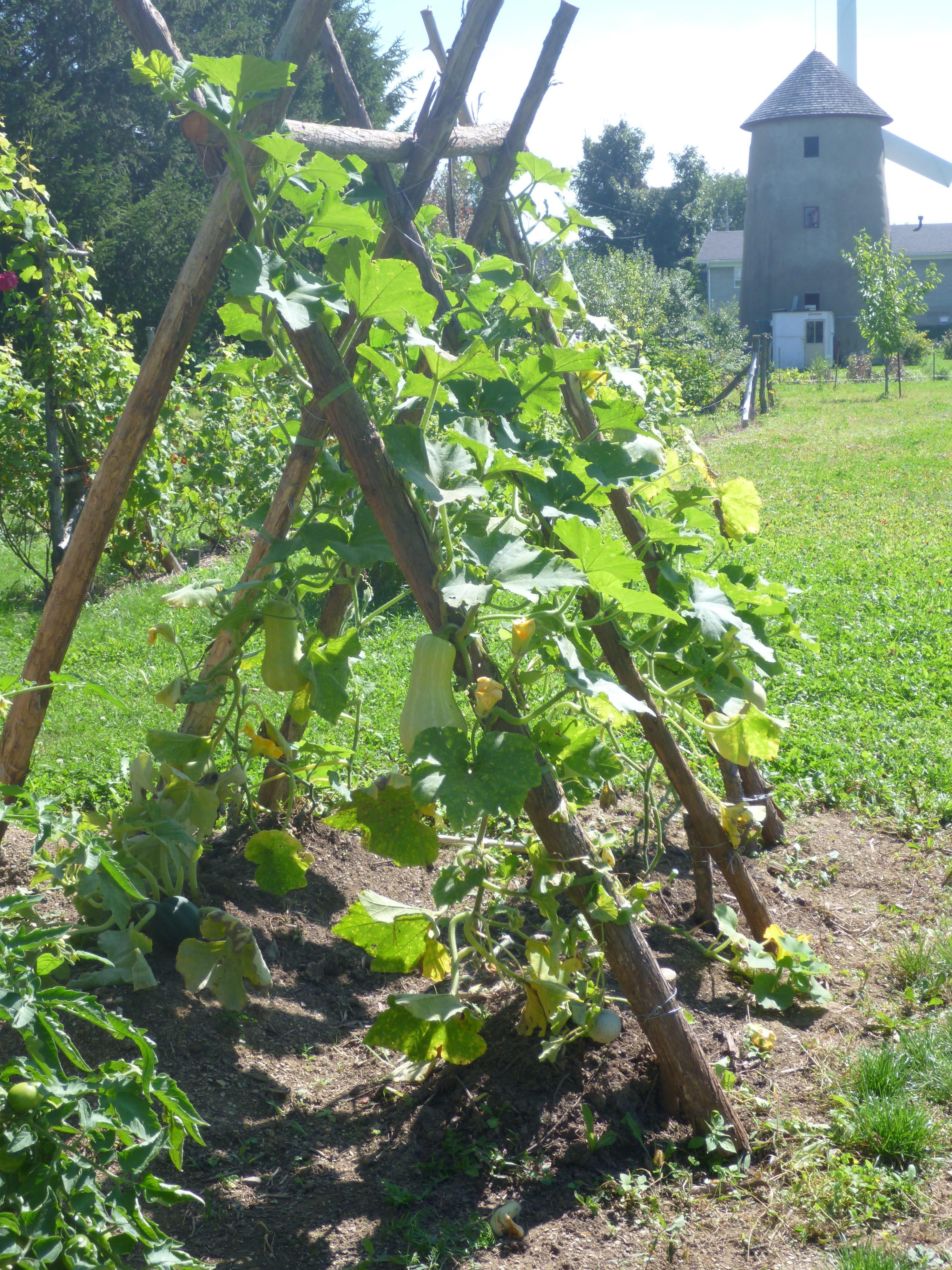Structure pour les courges Jardin potager, Tuteur jardin