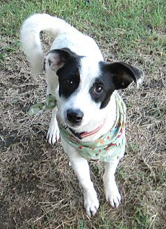 Pilot Point Tx Cardigan Welsh Corgi Pointer Mix Meet Codie A