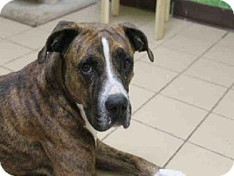 Titusville Fl Boxer Mix Meet Sheila A Dog For Adoption Http
