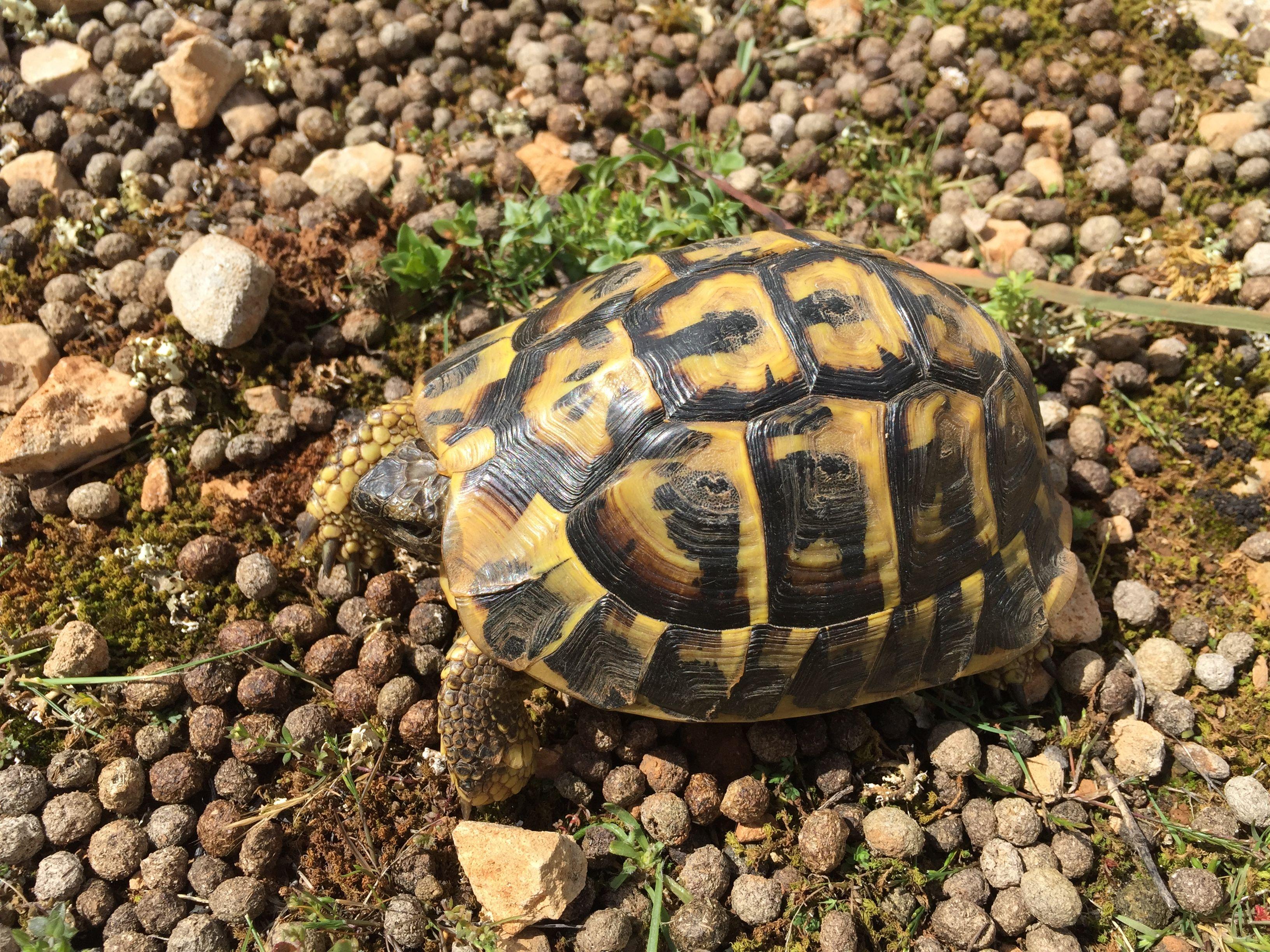 Tortoise Mallorca