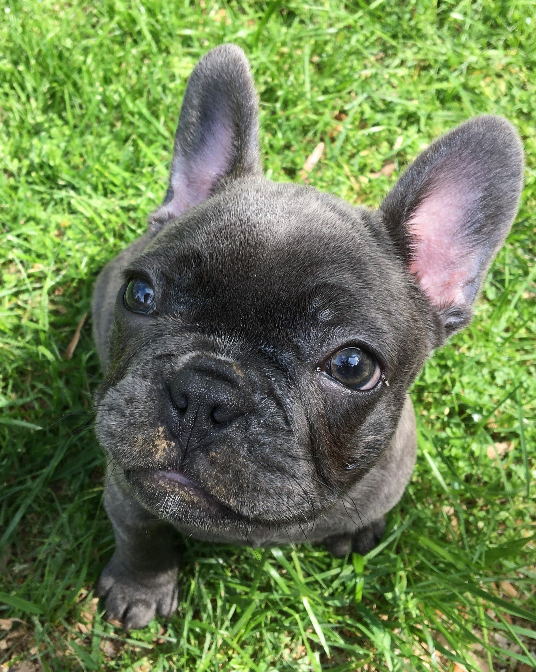 Blue Brindle French Bulldog French Bulldog Puppy Black Brindle