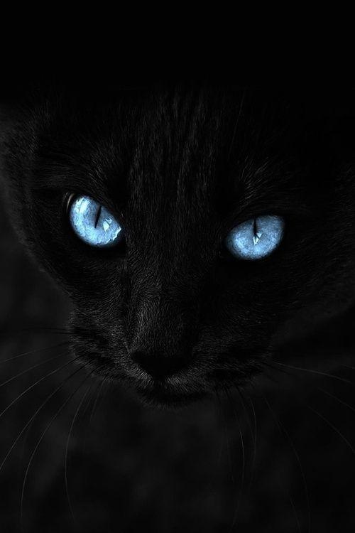 Schwarze Katze Blaue Augen Com Imagens Gatos Loucos Gatos