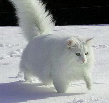This Norwegian Forest Cat Shows Off More Tricks Norwegian