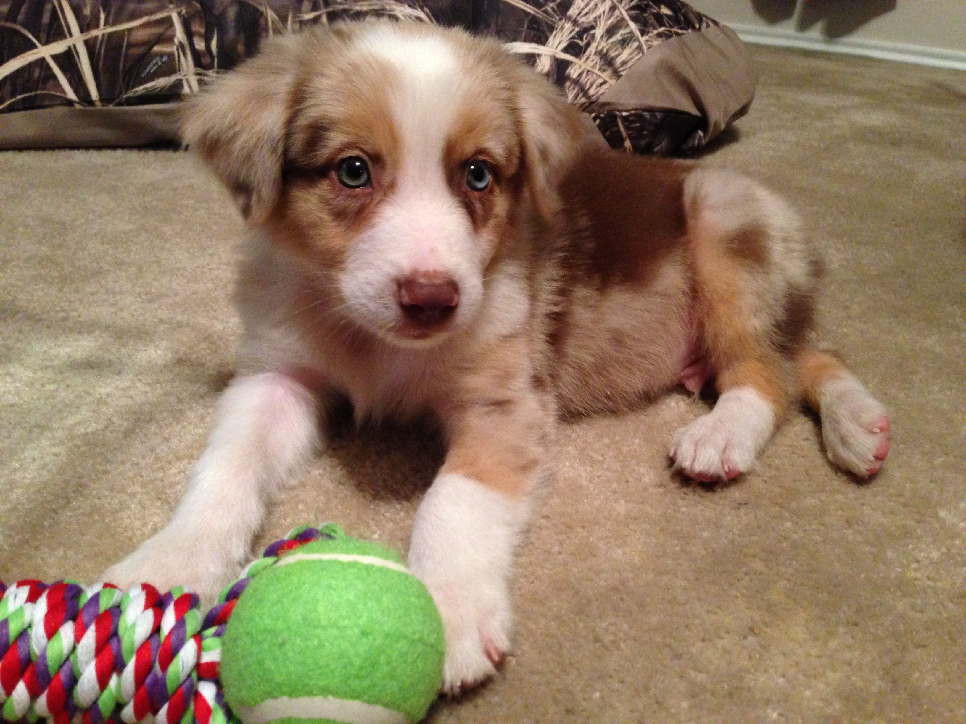 Our australian shepherd puppy dusty trigger puppers and doggos