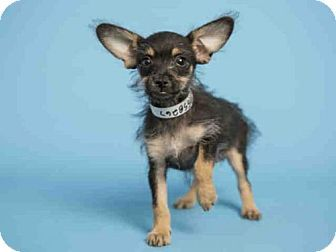 Pictures Of Gigi A Yorkie Yorkshire Terrier X2f Manchester Terrier Mix For Adoption In Phoenix Az Who Need Yorkie Yorkshire Terrier Terrier Mix Dog Adoption