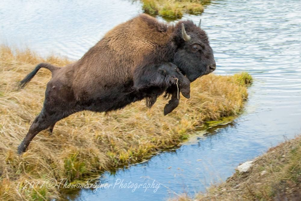Pin by Herb Jure on Animals National animal, Animals, Bison