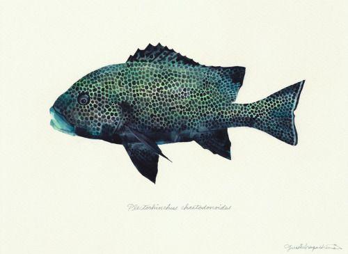 "Plectorhinchus chaetodonoides / Harlequin sweetlips / ""Chouchou-koshoudai"" (""チョウチョウコショウダイ Plectorhinchus…"