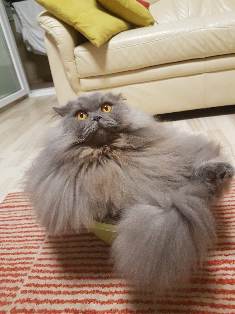British Longai Cat Prkons Thunder British Longhair Cat
