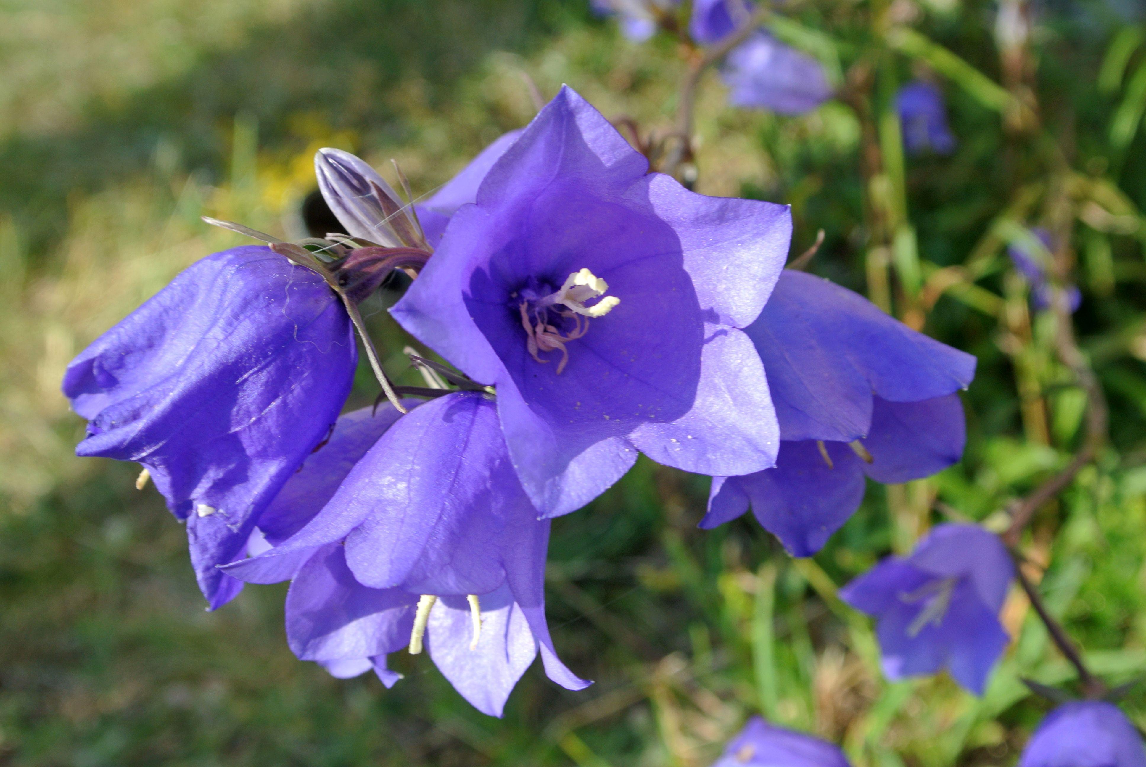 Campanula Persicifolia Description Campanula Persicifolia Tehumardi Saaremaa Jpg Flowers Perennials Campanula Flowers Campanula