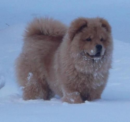 Chow chows - one of the cutest breeds of dogs just like our Sushi... Part lion part teddy bear!