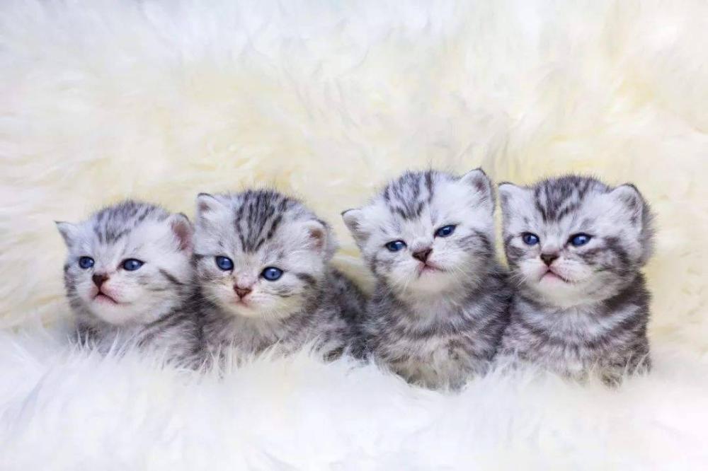 Pin By Green Flex On Cute Animals In 2020 Silver Tabby Kitten Tabby Kitten Tabby Cat Pictures