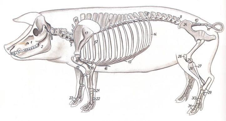 7.- esqueleto del cerdo | Veterinay | Pinterest | Los cerditos ...