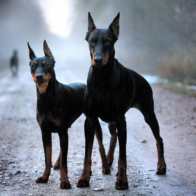 Doberman Pinscher—What a pair! I bet they make for great